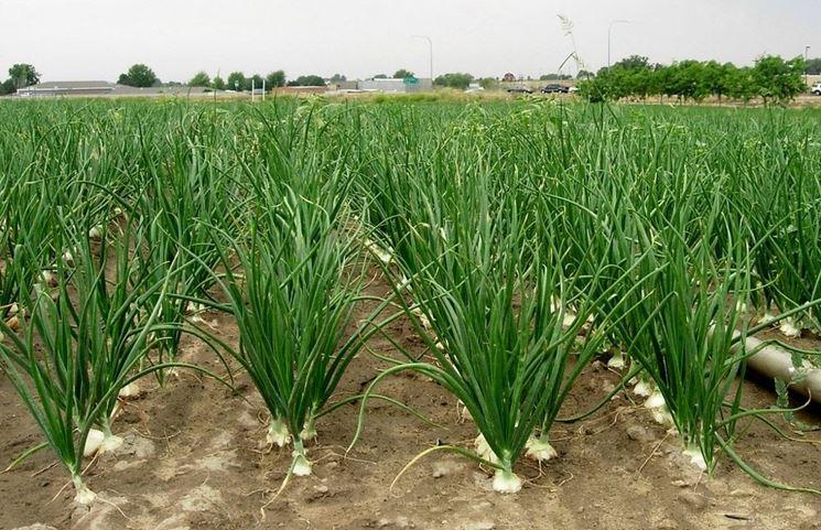 Cipolla coltivazione allium cepa allium cepa orto for Semina cipolle