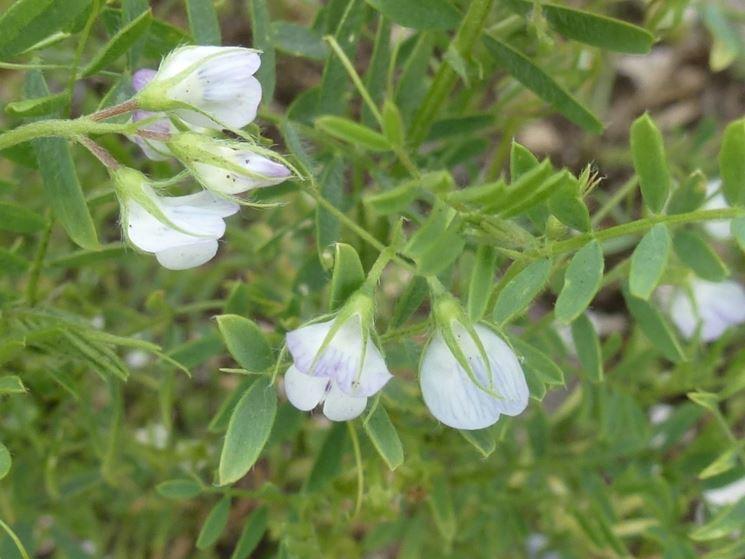 fiore lenticchie