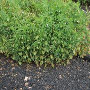 semina lenticchie