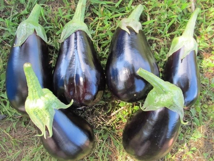 melanzane new york