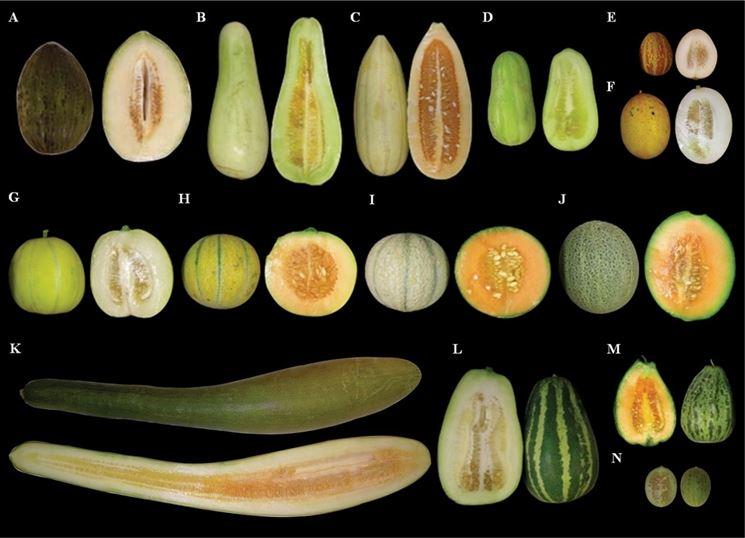 Variet� di melone