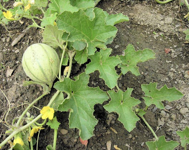 Coltivazione melone cucumis melo cucumis melo orto for Coltivare meloni