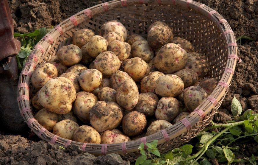 patata solanum tuberosum solanum tuberosum orto patata solanum tuberosum orto. Black Bedroom Furniture Sets. Home Design Ideas