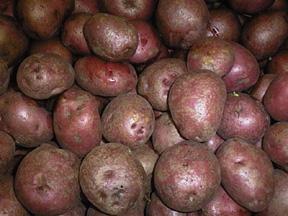 Patata for Raccolta patate