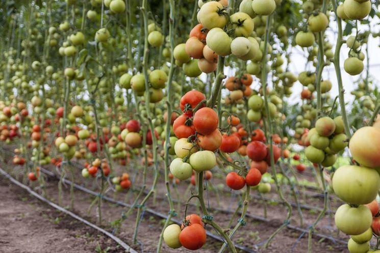 Caratteristiche del pomodoro
