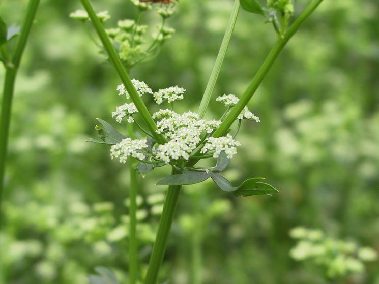 Sedano apium graveolens orto sedano apium for Tipi di fiori