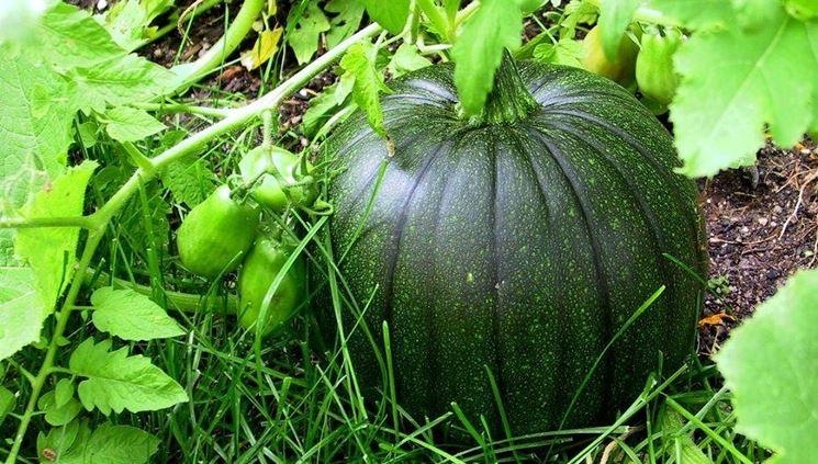 zucca verde