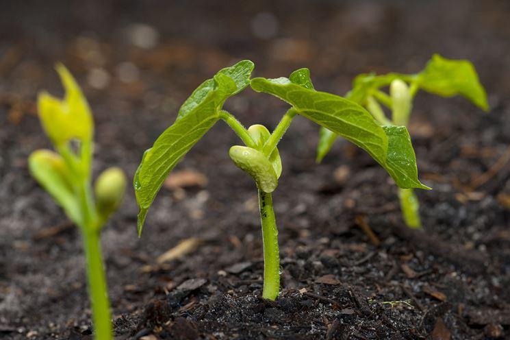 seminare zucchine