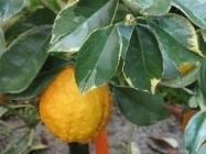 malattie limone
