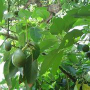 avocado albero