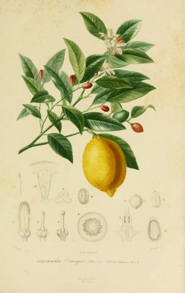 coltivare limone
