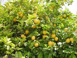 frutti limone