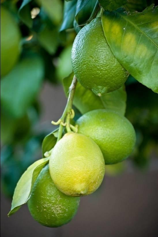Coltivazione limoni domande e risposte orto e frutta for Malattie del limone
