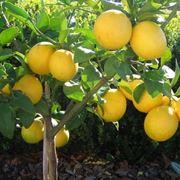potatura limoni in vaso