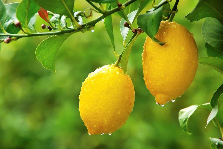 Coltivazione limoni domande e risposte orto e frutta for Terriccio per limoni in vaso