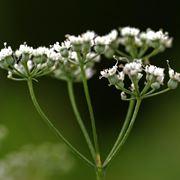 anice fiore