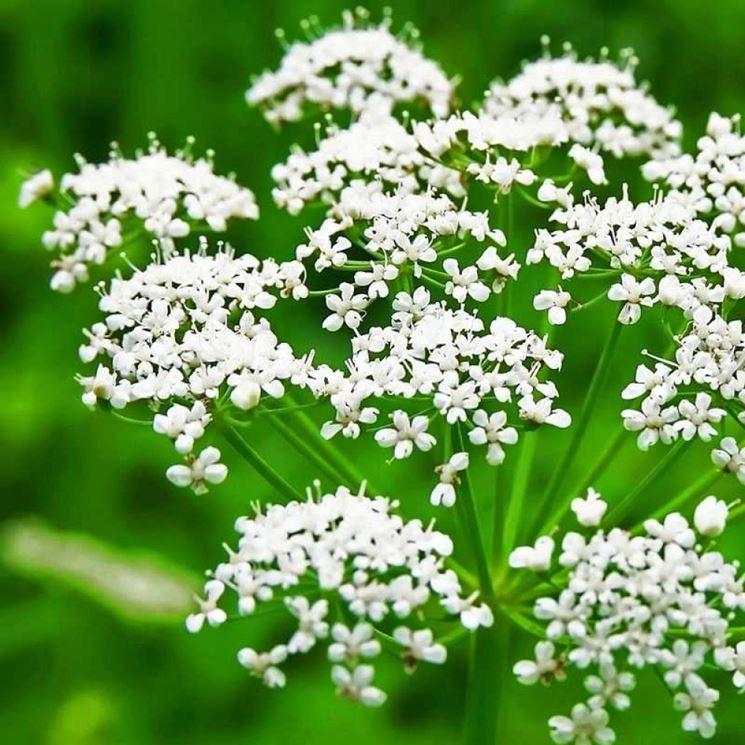 fiori anice