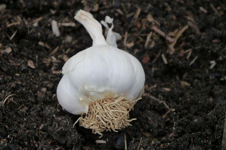 testa aglio