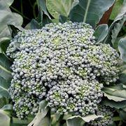 broccoli calabresi