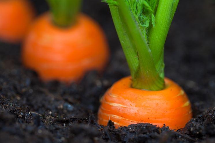 carote come coltivare