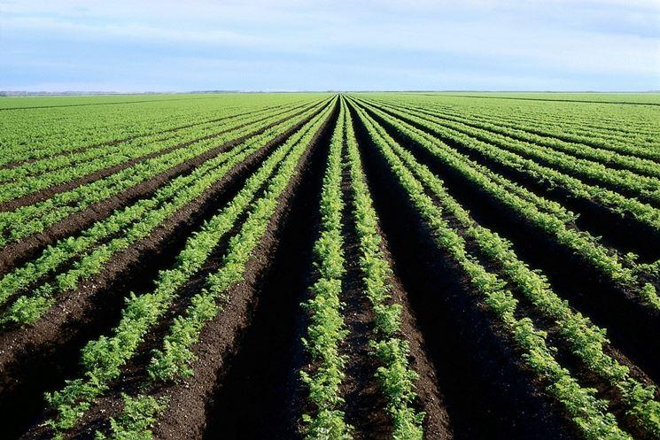 campi di carote