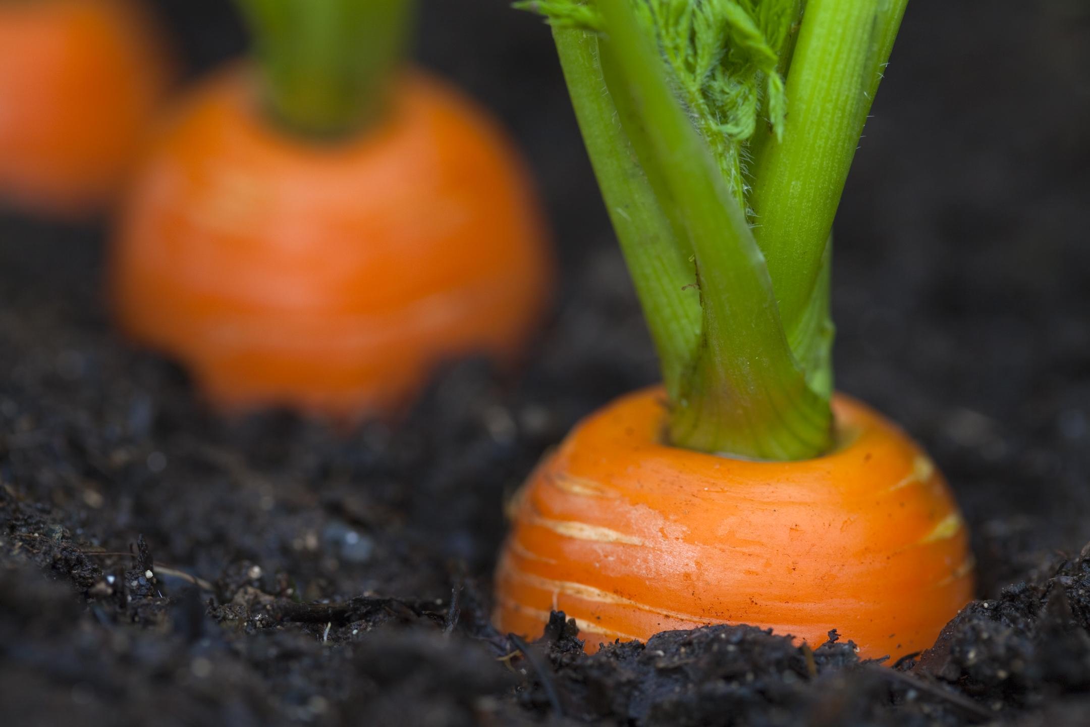 Coltivare carote coltivazione ortaggi for Tipi di schierandosi per le case