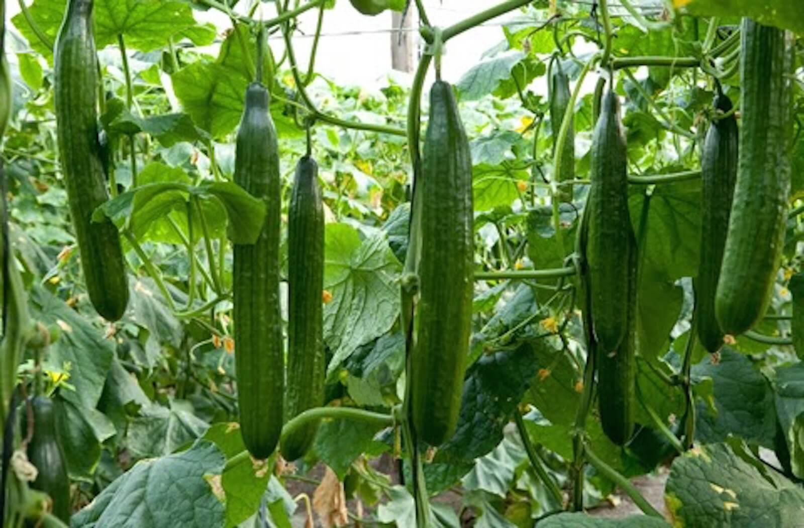 Coltivare Piselli In Vaso coltivare cetrioli - coltivazione ortaggi - coltivazione dei