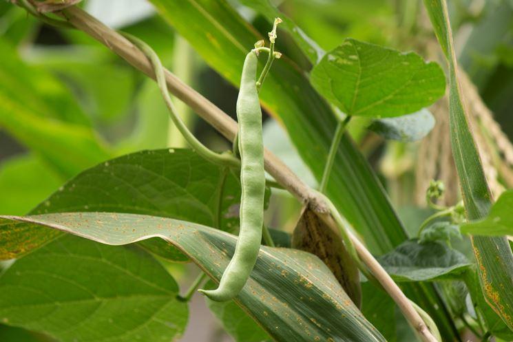 coltivare fagioli