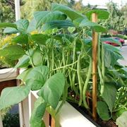 semina fagioli