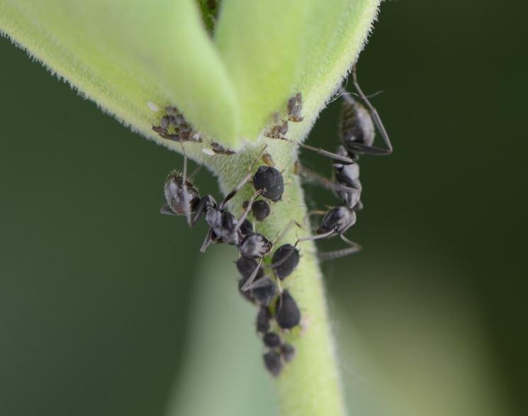 Parassiti delle lenticchie