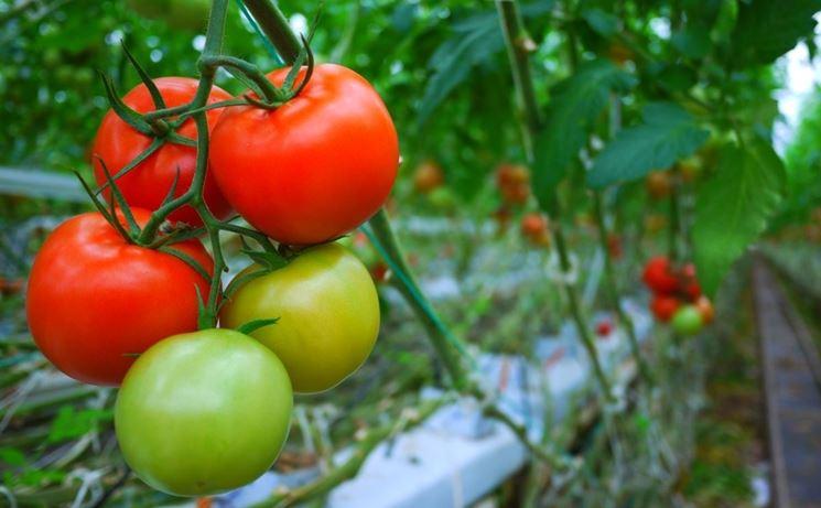 pomodori coltivazione