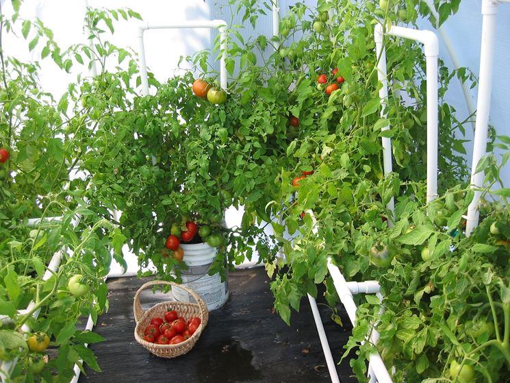 coltivazioni pomodori
