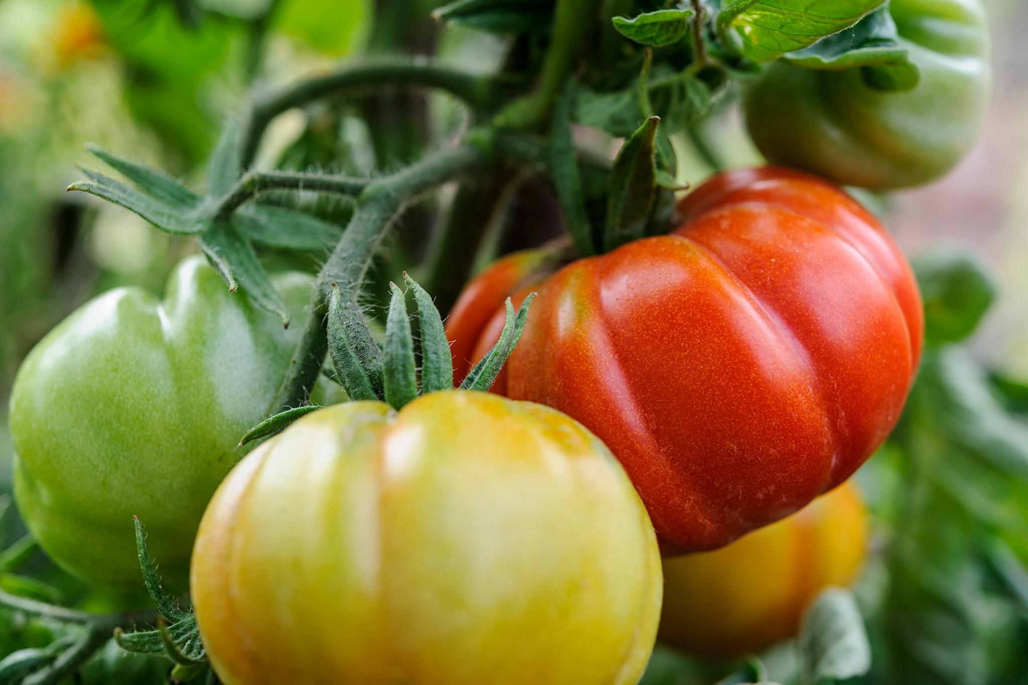 Coltivare pomodori coltivazione ortaggi for Cimatura pomodori