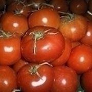 coltivazione del pomodoro