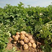 patate semina