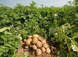 Coltivazione  patate
