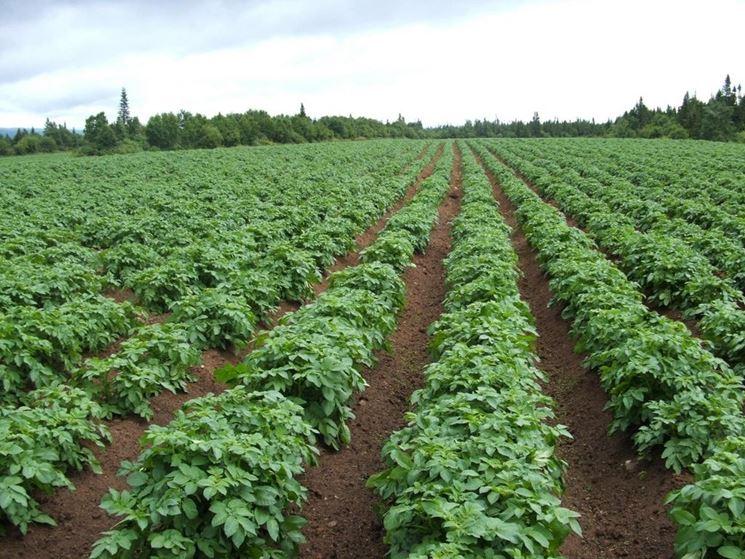 campo di patate