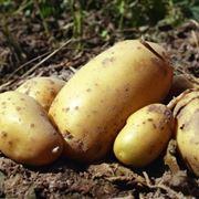 semina delle patate