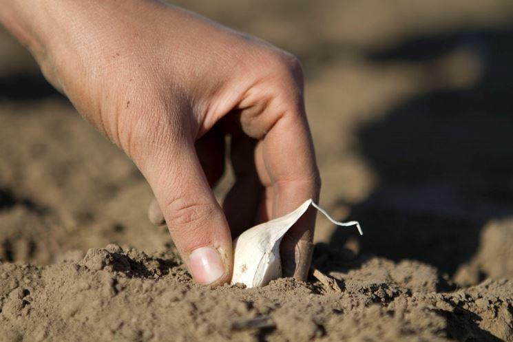 aglio coltivazione