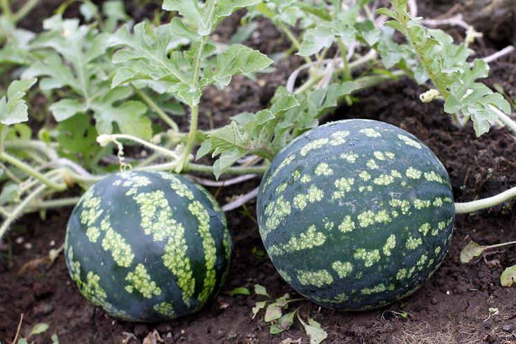 coltivazione anguria coltivazione ortaggi come coltivare le angurie. Black Bedroom Furniture Sets. Home Design Ideas