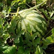 coltivazione anguria