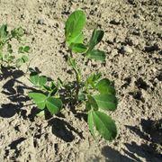 arachidi coltivazione