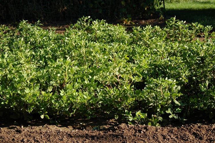 coltivare arachidi