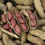semina arachidi