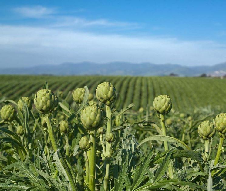 coltivazione dei carciofi