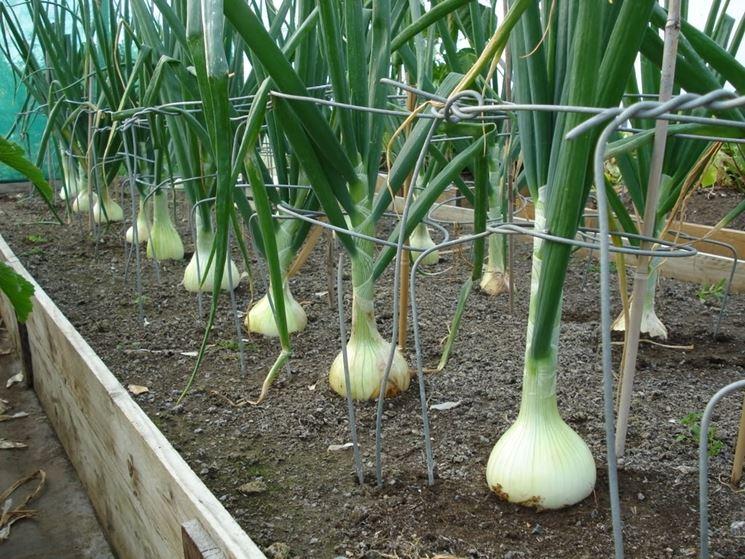coltivare cipolle