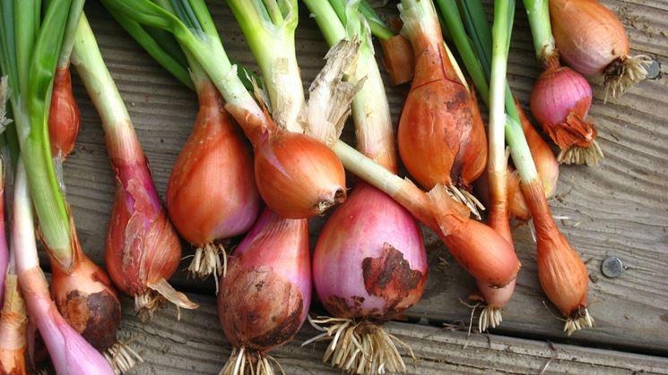 raccolta cipolle