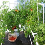 coltivare in serra