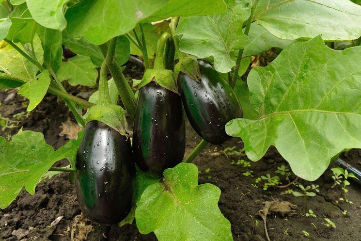 melanzane coltivazione