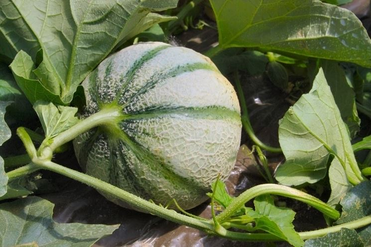 come coltivare meloni